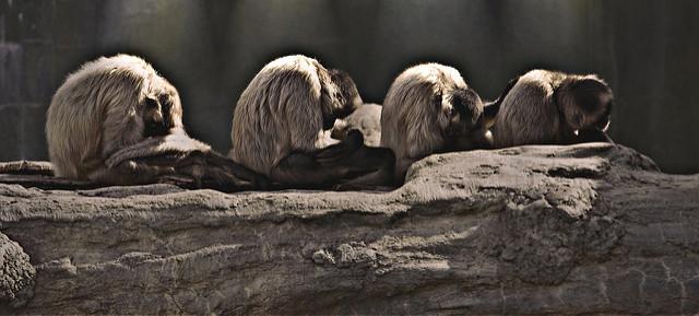 Śpiące małpki